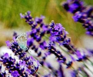 Argus bleu, un des papillons que l'on retrouve dans les Baronnies Provençales (c)MHLEON