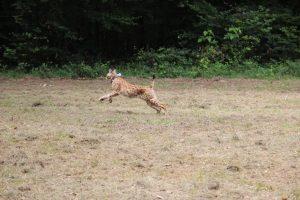 Lacher lynx 30-7-2016 072